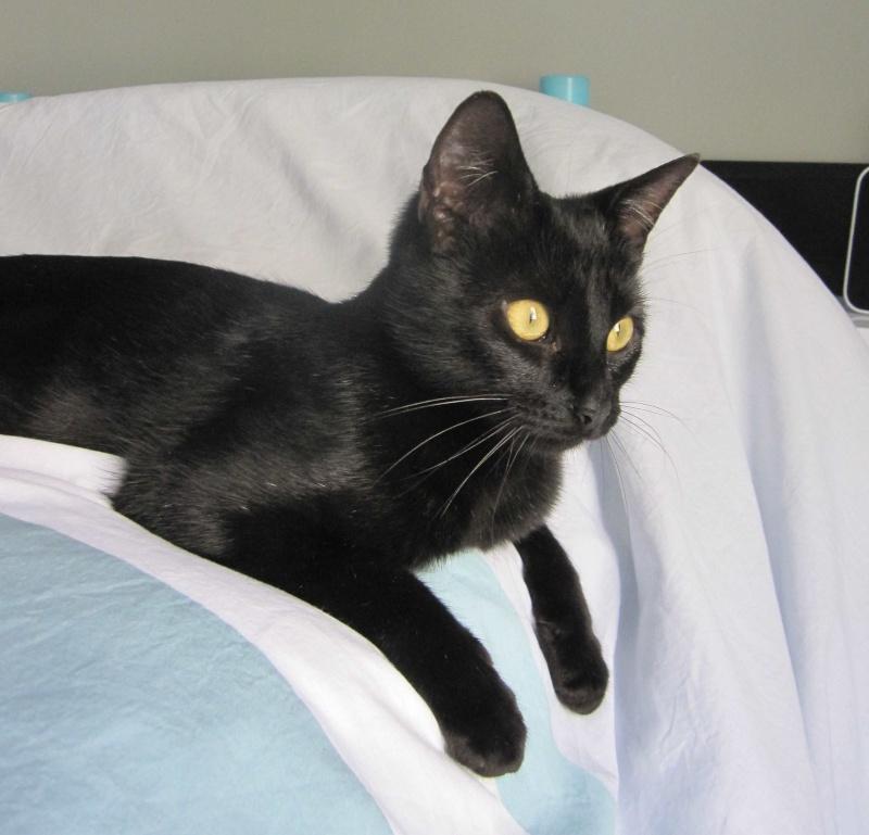 LIVIA, jeune chatte européen, robe noire, née en avril 2015 Livia_22