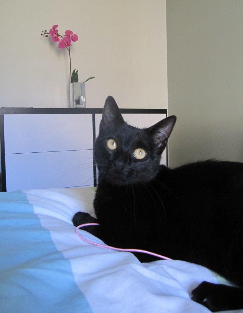 LIVIA, jeune chatte européen, robe noire, née en avril 2015 Livia_23
