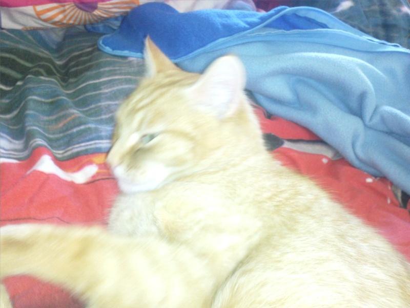 joris - JORIS, chat européen tigré roux, né en mars 2014 Photo010