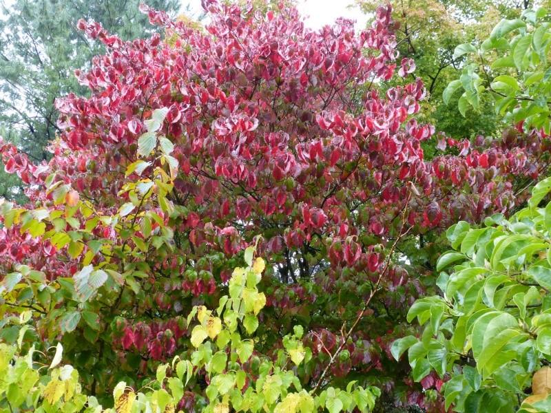 Ambiance automne 2015 Cornus10