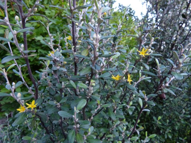 nos plantes parfumées - 2011-2015 - Page 6 Coroki10