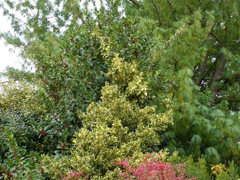 Ilex 'Castaneifolia' - houx à feuille de châtaignier Couleu24