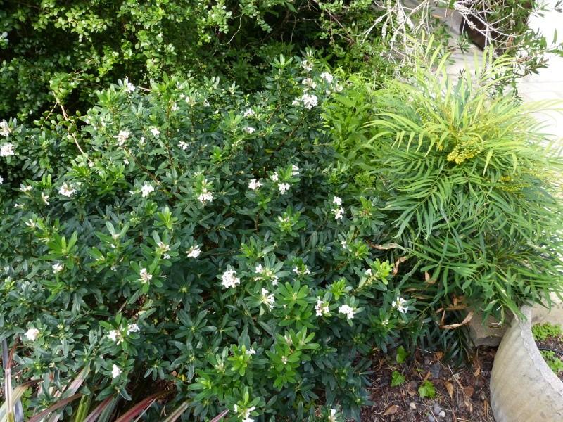 nos plantes parfumées - 2011-2015 - Page 6 Daphne10