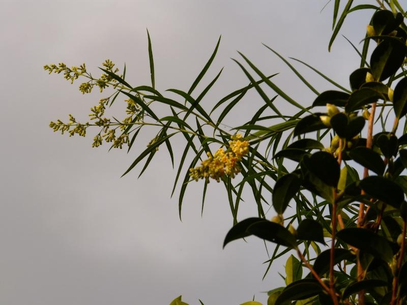 Freylinia lanceolata Freyli12