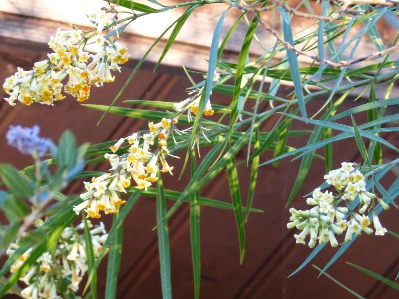 Freylinia lanceolata Freyli14