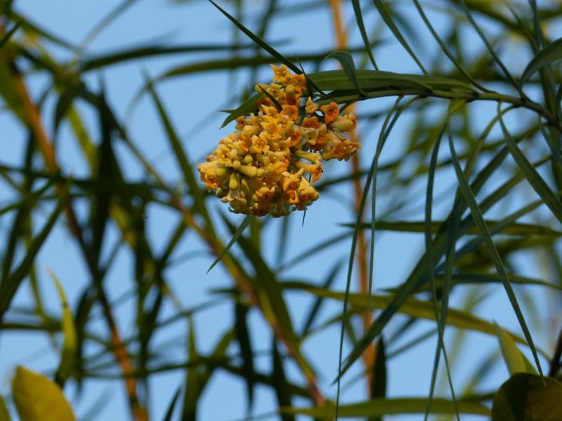 Freylinia lanceolata Freyli15
