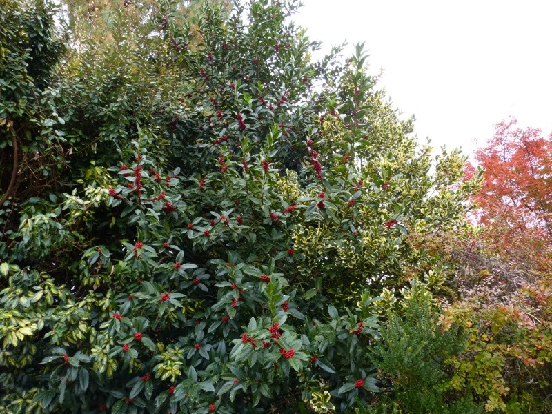 Ilex 'Castaneifolia' - houx à feuille de châtaignier Ilex_c11