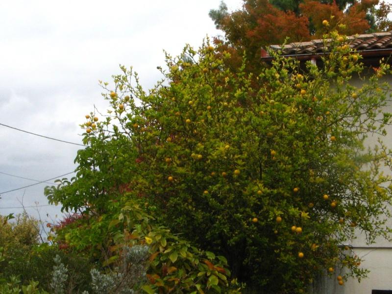 Citrus trifoliata (= Poncirus trifoliata) - Page 2 Poncir15