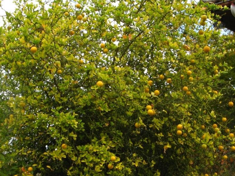 Citrus trifoliata (= Poncirus trifoliata) - Page 2 Poncir16