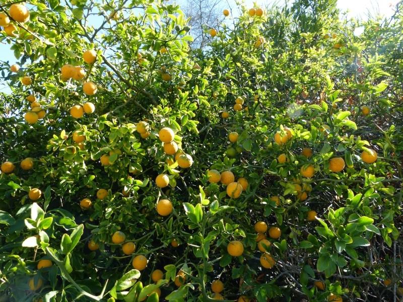Citrus trifoliata (= Poncirus trifoliata) - Page 2 Poncir17