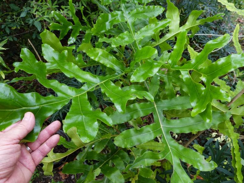 Stenocarpus sinuatus Stenoc10