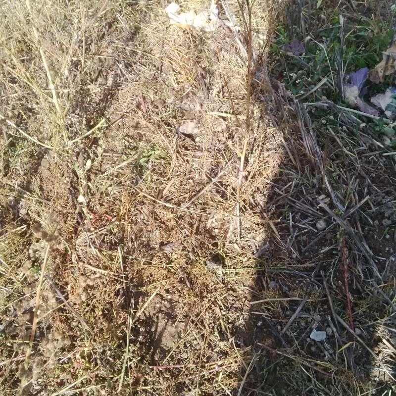 Debut des semis de blé Le_91010