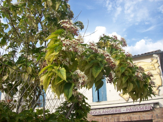 Clerodendrum trichotomum 100_3910