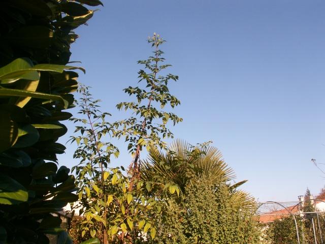 Dahlia imperialis - Page 5 Dalhia10