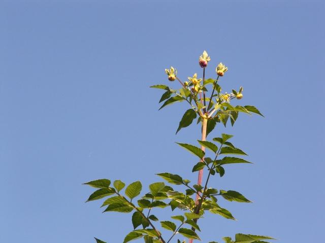 Dahlia imperialis - Page 5 Dalhia12