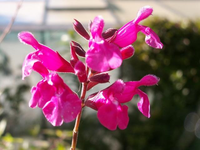 derniers sursauts du jardin Salvia11