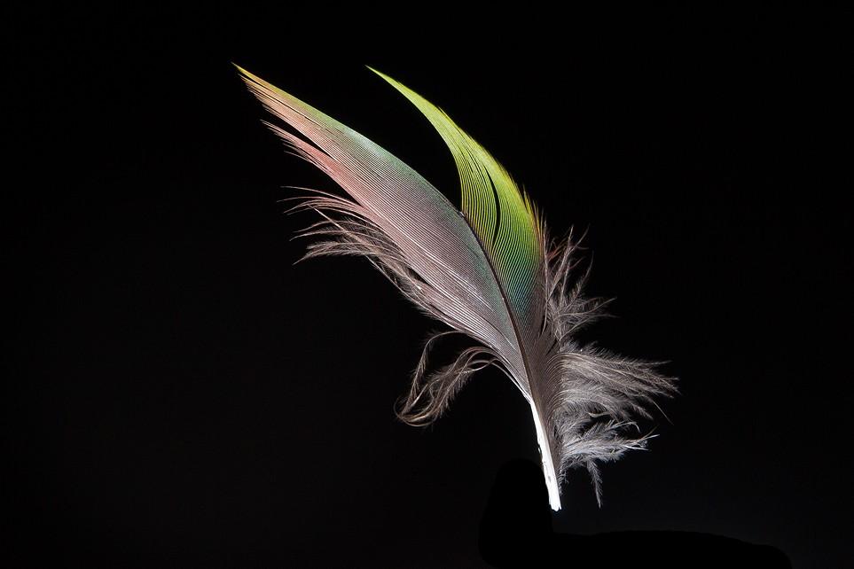 Plumes de Paon, Ibis rouge, Perroquet et Flamant  Plume810