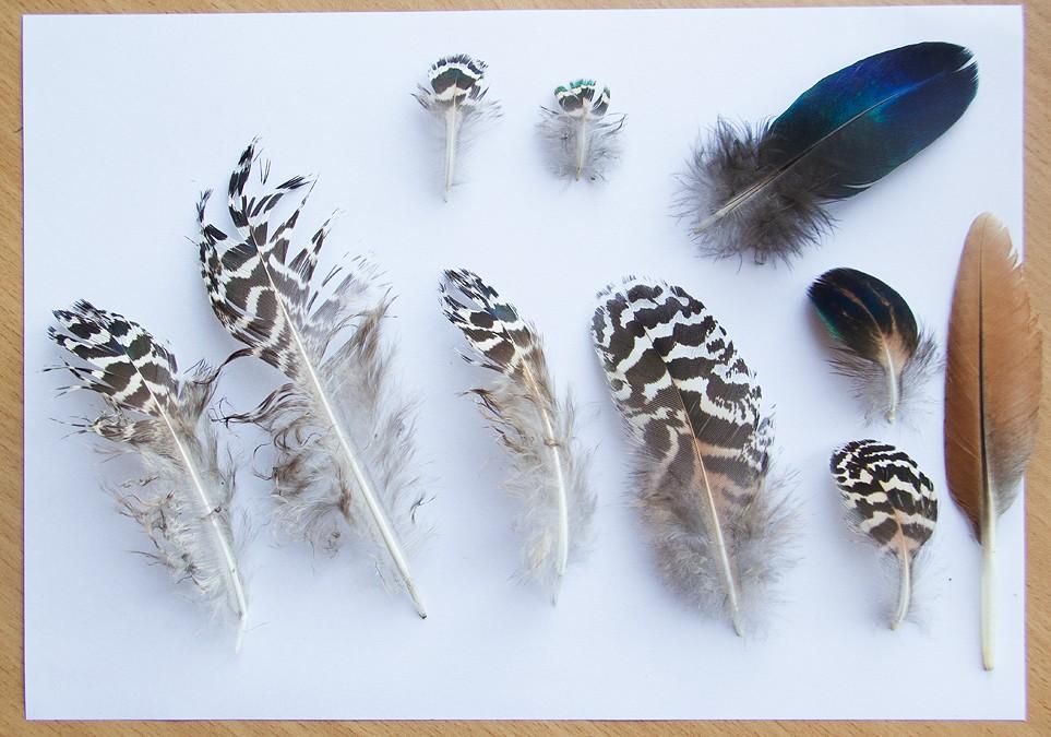 Plumes de Paon, Ibis rouge, Perroquet et Flamant  Plumep11