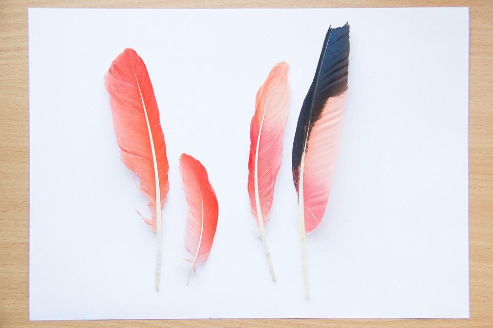 Plumes de Paon, Ibis rouge, Perroquet et Flamant  Plumep14