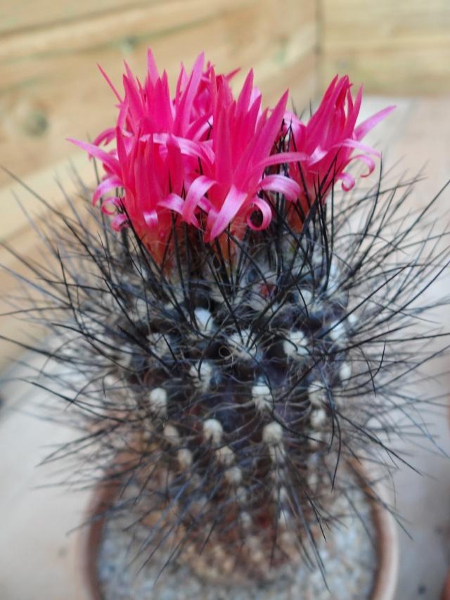 En Novembre il n'ya pas que les chrysanthémes Eriosy10