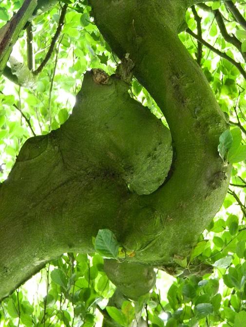 Fagus sylvatica - hêtre commun, fayard Aaa210