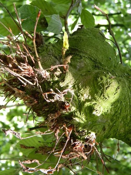 Fagus sylvatica - hêtre commun, fayard Aaa410
