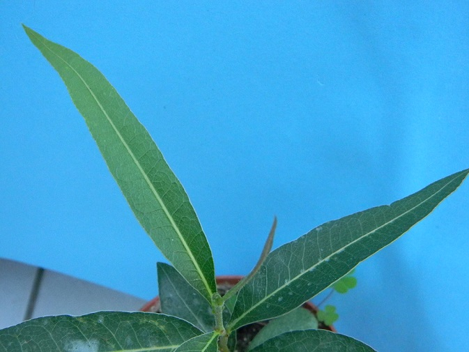 semis de Brachychiton Bra10