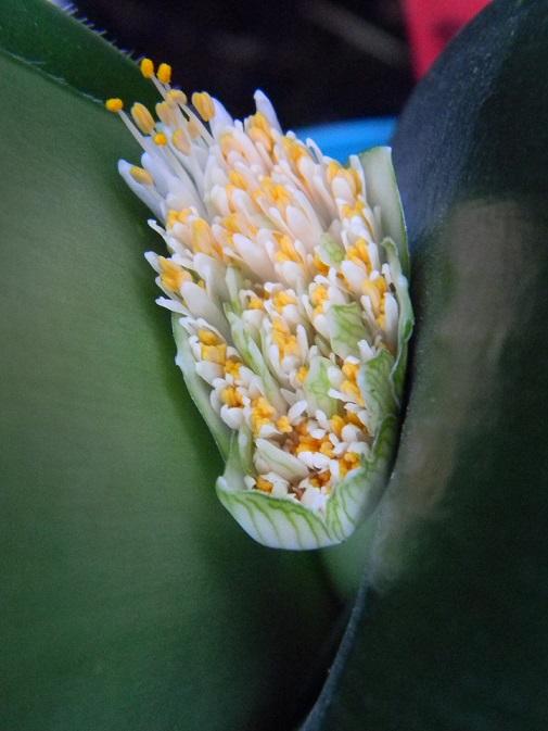 Haemanthus albiflos Bulb12