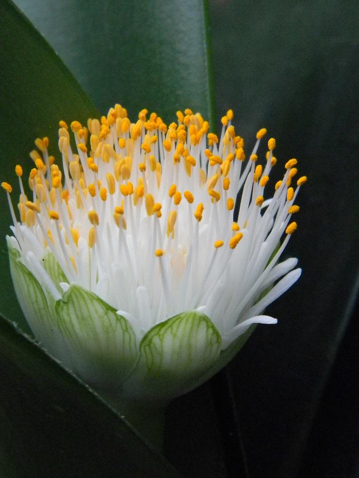 Haemanthus albiflos Bulb213