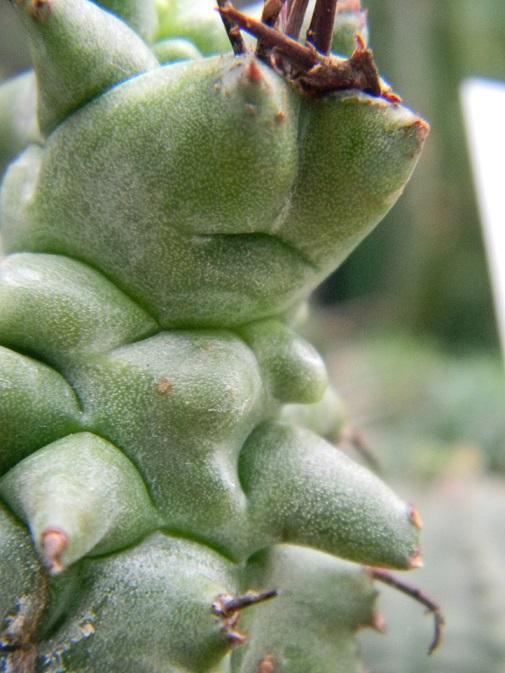 Euphorbia horrida Kik11