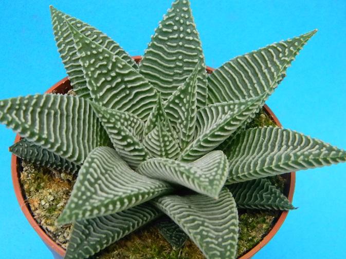 Haworthia limifolia var. striata Lim10