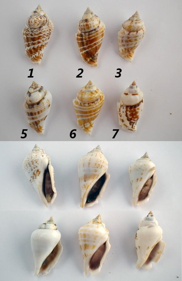 Strombus_gibberulus_gibberulus, L. 1758 Conomu12