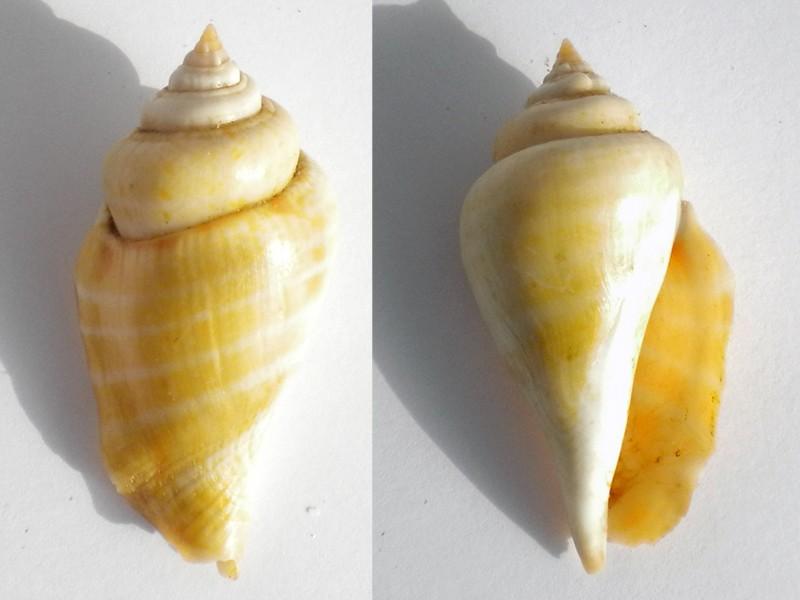 Strombus gibberulus gibberulus, L. 1758 Conomu13