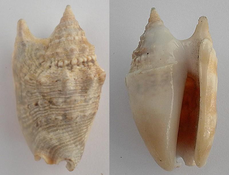 Euprotomus_aurisdianae_(Linnaeus_1758) Conomu16