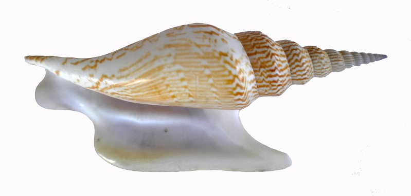 Strombidae Mirabilistrombus listeri - (Gray, 1852) Dscn7714