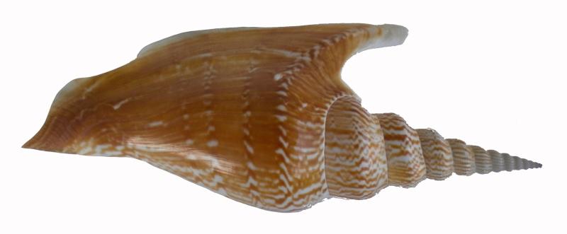 Strombidae Mirabilistrombus listeri - (Gray, 1852) Dscn7715