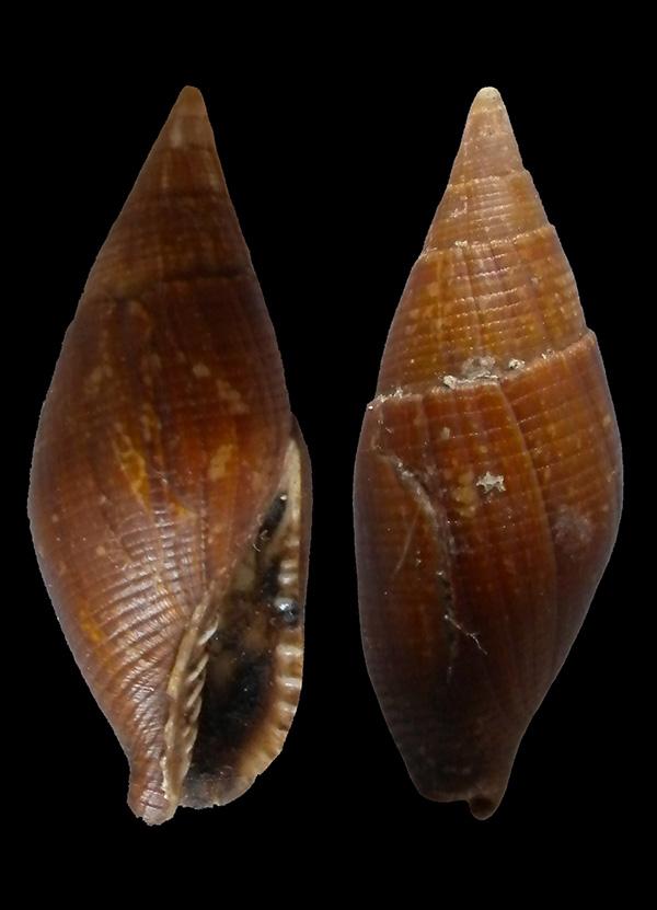 Mitra (Mitra) ambigua - Swainson, 1829 Dscn8112