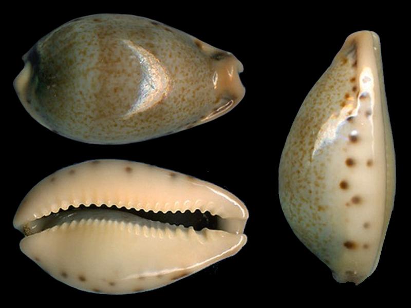Erronea xanthodon - (J.E. Gray in G. B. Sowerby I, 1832) Errone10