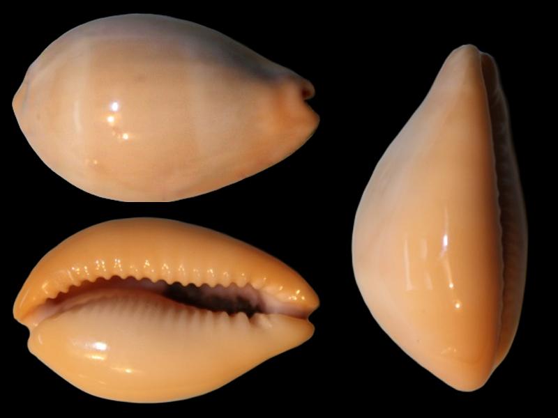 Erronea nymphae - (Jay, 1850) Errone15