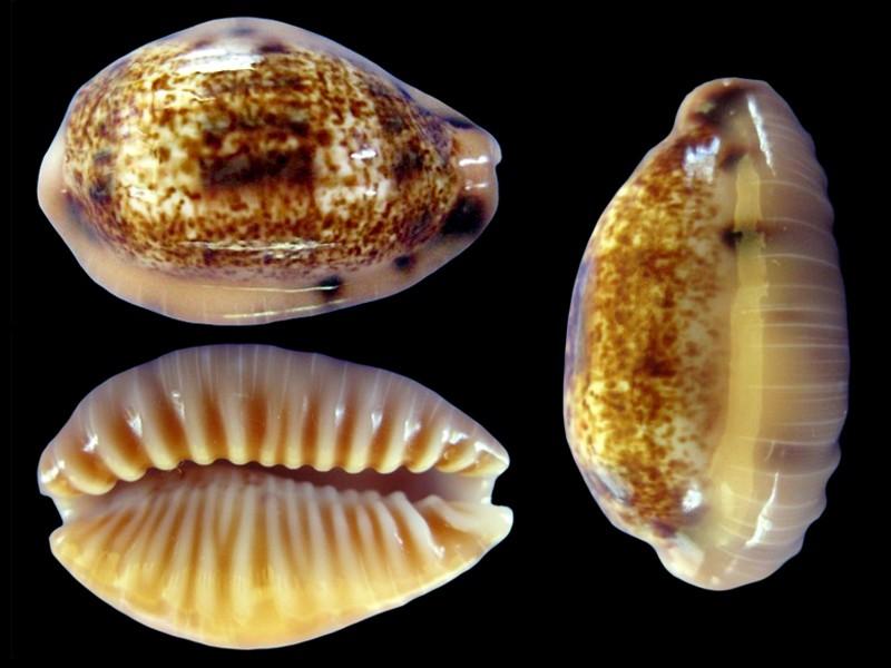 Erronea caurica samoensis - Lorenz, 2002 Errone19