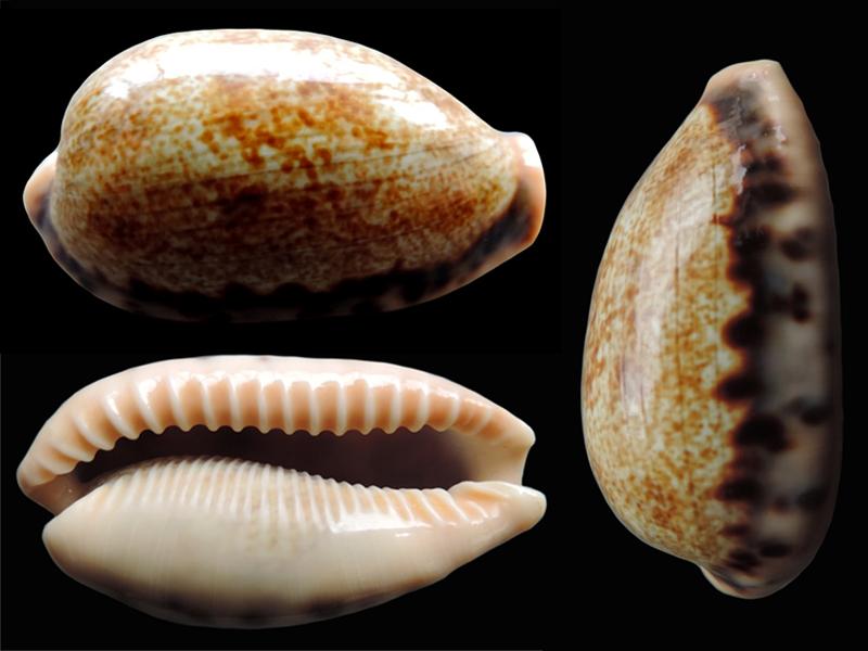 Erronea caurica quinquefasciata - (Röding, 1798)  Errone25