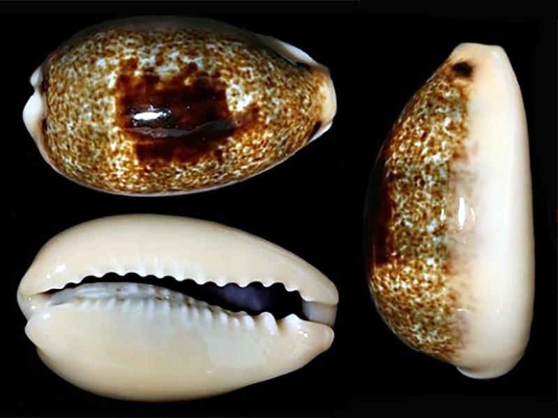 Erronea errones coxi - (Brazier, 1872) Errone28