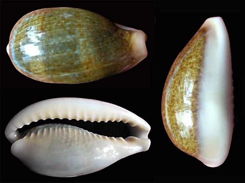 Erronea ovum ovum - (Gmelin, 1791) Errone31