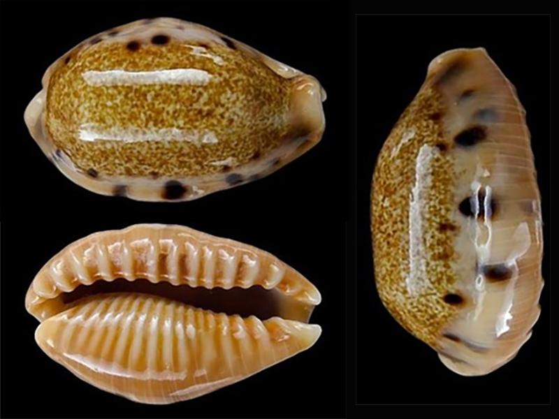 Erronea caurica dracaena - (Born, 1778) Errone36