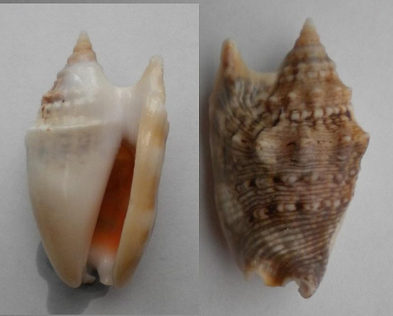 Euprotomus_aurisdianae_(Linnaeus_1758) Euprot10