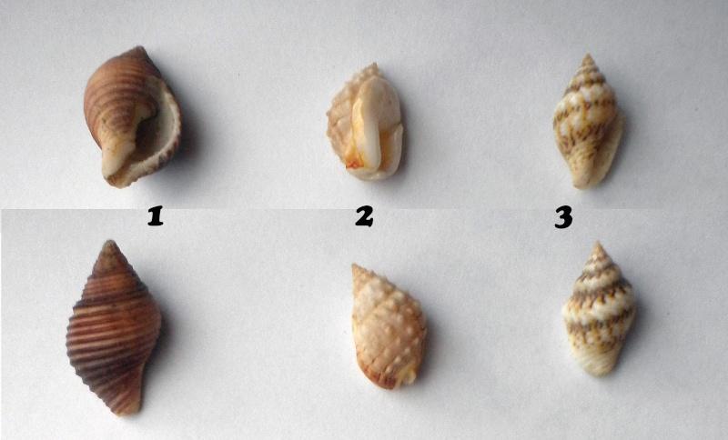 Encore besoin d'aide 2 = Pollia undosa, Nassarius graniferus et Euplica scripta Ident-11