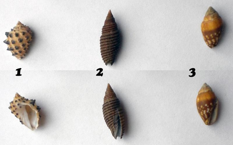Encore besoin d'aide 3 = Drupa ricinus et Domiporta filaris Ident-12