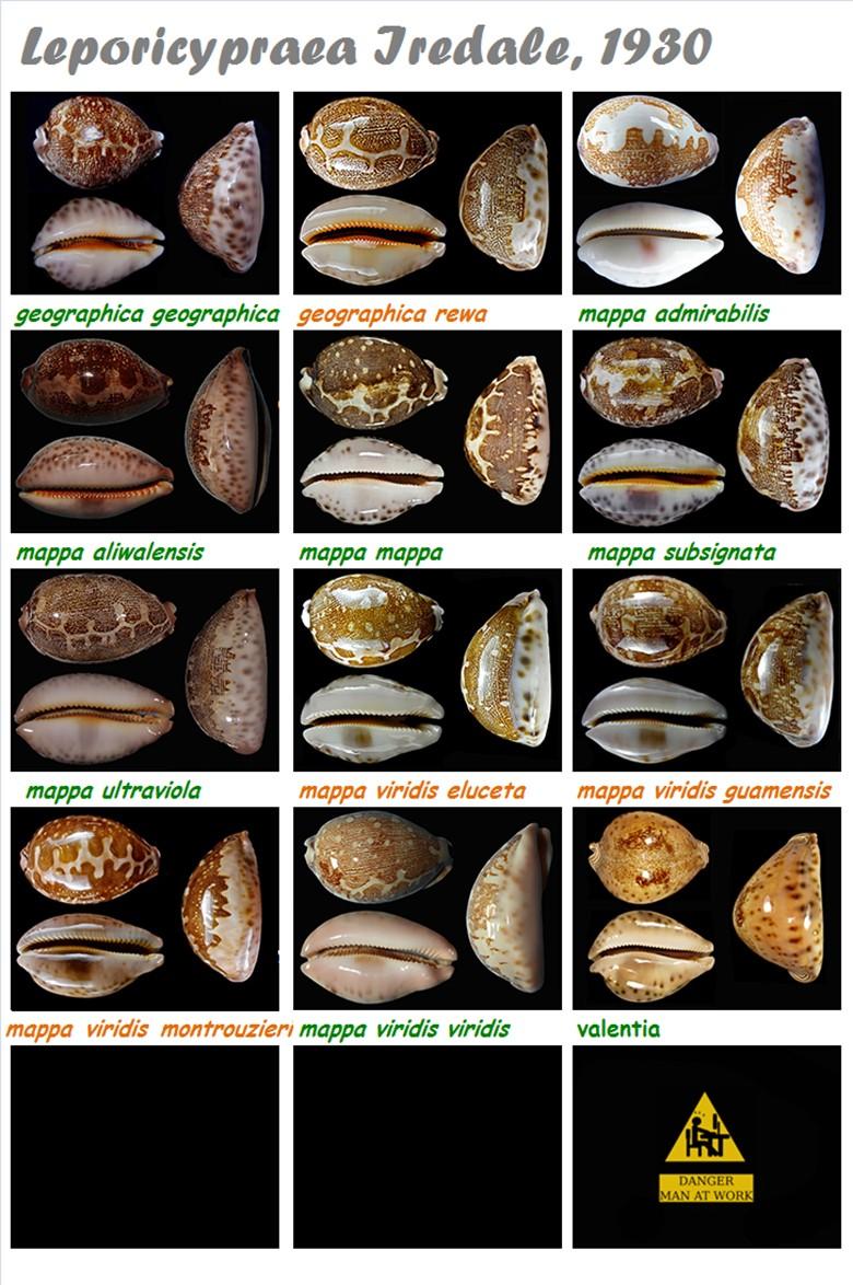 Cypraeidae Leporicypraea - Discussion sur le genre, la planche Lepori19