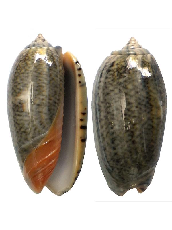 Viduoliva reticulata f. azona (Dautzenberg, 1927) Nc-0210