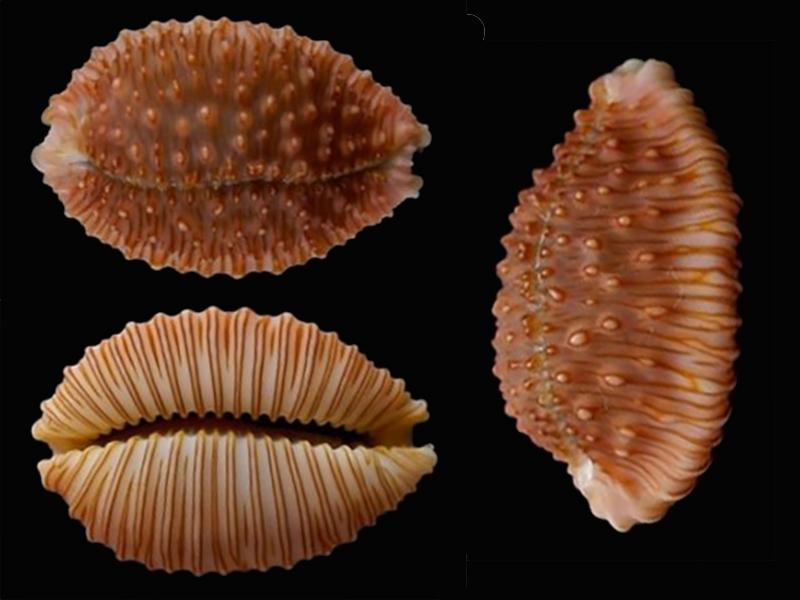 Nucleolaria granulata - (Pease, 1862) Nucleo11